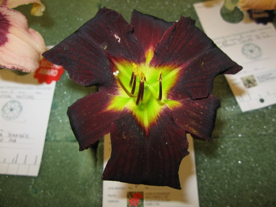 Merlin's Moth