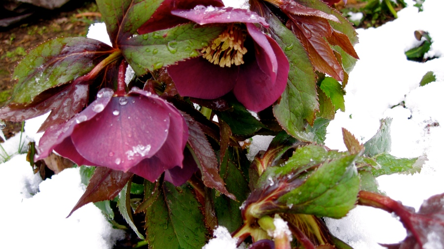 Hellebore Linen Rose What a gorgeous shot!