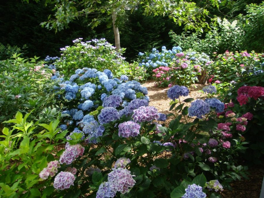 Pessoni hydrangeas garden