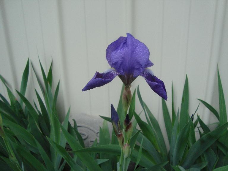 Donna's Purple Iris