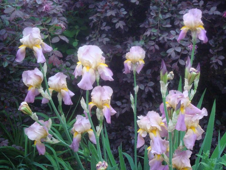 Sherry%27s Tall Bearded Lavender Iris 4-21-16