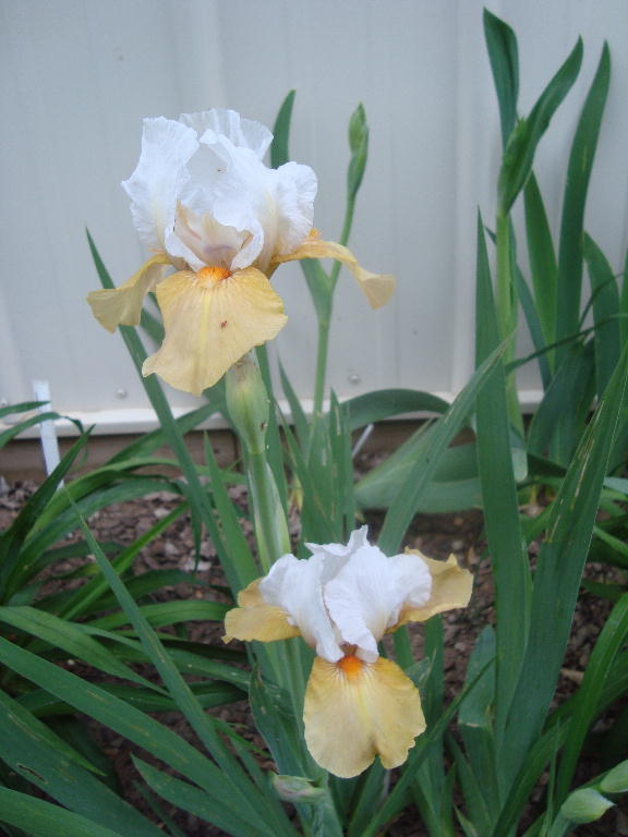 Tall Bearded Iris %27Champagne Encore%27 4-21-16
