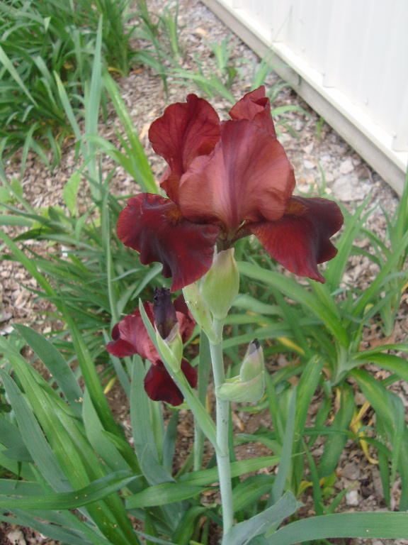 Tall Bearded Iris %27Cranapple%27 4-21-16
