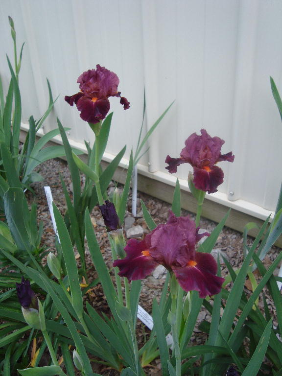 Tall Bearded Iris %27Forged in Fire%27 4-21-16