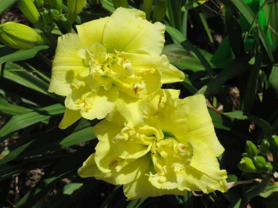 Sweet Yellow Truffle - Kirchhoff '09